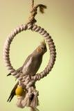 4 canelle小形鹦鹉 免版税库存图片
