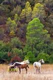 4 cavalos de Andalucian em um campo na Costa del Sol Fotos de Stock