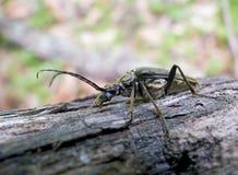 4 cerambycidae Αιγοκέρου κανθάρων Στοκ φωτογραφία με δικαίωμα ελεύθερης χρήσης