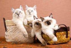 4 chatons de Ragdoll dans les paniers bruns Photos libres de droits