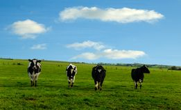 4 cows Stock Image