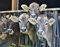 4 Cows Behind Black Metal Rails Royalty Free Stock Photos