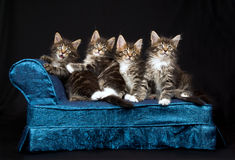 4 Cute Maine Coon kittens on blue chaise. 4 Cute and pretty Maine Coon kittens sitting on miniature blue chaise sofa on black background stock image