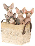 4 Cute Sphynx kittens in brown basket. On white background royalty free stock photo