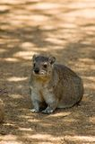 4 dassie非洲蹄兔岩石 免版税库存照片