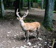 4 deers 图库摄影