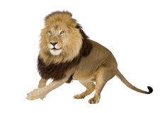 4 demi d'ans de panthera de lion de Lion Image libre de droits