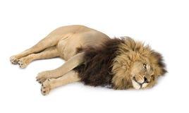 4 demi d'ans de panthera de lion de Lion Images libres de droits