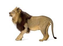 4 demi d'ans de panthera de lion de Lion Photographie stock