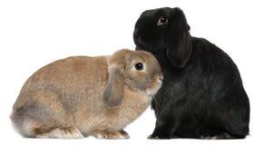 4 e 6 mesi dei conigli, davanti a bianco Immagine Stock