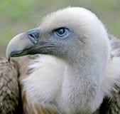 4 eurasian griffon Στοκ Φωτογραφίες