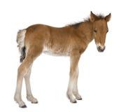 4 foal παλαιές εβδομάδες Στοκ φωτογραφία με δικαίωμα ελεύθερης χρήσης