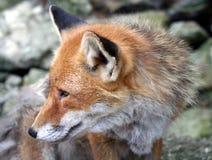 4 fox Arkivbild