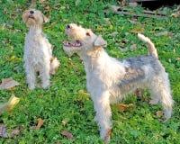 4 fox terrier Στοκ εικόνα με δικαίωμα ελεύθερης χρήσης