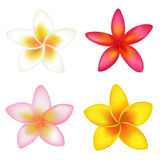 4 Fragipani. Vector Stock Images