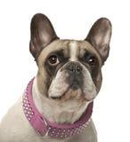 4 franska gammala år för bulldogg Arkivbild