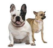 4 franska gammala år för bulldoggchihuahua Royaltyfria Bilder