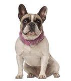 4 franska gammala sittande år för bulldogg Arkivfoto