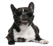 4 franska gammala solglasögon för bulldogg som slitage år Arkivbilder