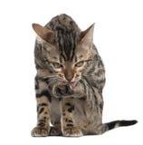 4 gammala bengal kattungemånader Arkivbilder