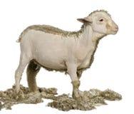 4 gammala för lambmerinomånader som rakas delvist royaltyfri fotografi