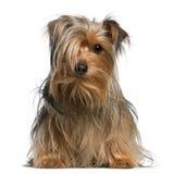 4 gammala sittande terrierår yorkshire Arkivbild