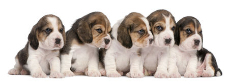 4 gammala valpar för beaglegrupp som sitter veckor Royaltyfri Fotografi