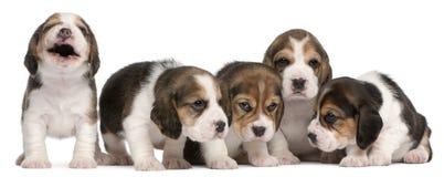 4 gammala valpar för beaglegrupp som sitter veckor Arkivfoto