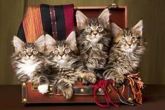 4 gatitos del Coon de Maine dentro de la maleta marrón imagenes de archivo
