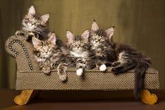 4 gatitos del Coon de Maine en el sofá de la calesa Imágenes de archivo libres de regalías