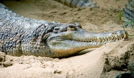 4 gavial falsi Fotografia Stock Libera da Diritti