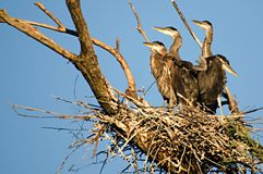 4 great blue heron chicks Royalty Free Stock Photography