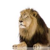 4 half år för leo lionpanthera Royaltyfria Bilder