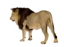 4 half år för leo lionpanthera Arkivfoton