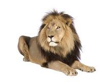 4 half år för leo lionpanthera Arkivfoto