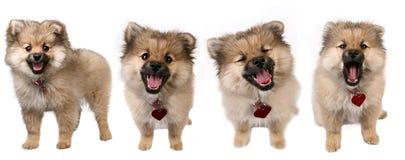4 Haltungen eines netten Pomeranian Welpen Lizenzfreie Stockbilder