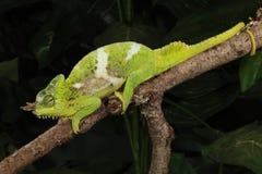 4-Horn kameleont - Trioceros quadricornis Arkivbild
