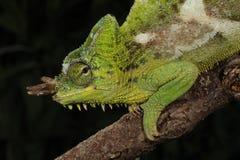 4-Horn kameleont - Trioceros quadricornis Royaltyfri Fotografi