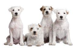 4 hundar grupperar den parsonrussell terrieren Fotografering för Bildbyråer