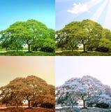 4 Jahreszeiten auf einem Baum Stockfotos