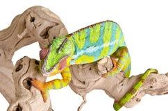 4 kameleon kolorowy Obraz Stock
