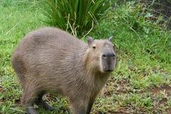 4 kapibara Obrazy Stock
