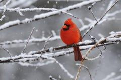 4 kardynałów śnieg Fotografia Royalty Free