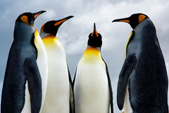 4 King Penguins Stock Photography
