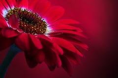 4 kompozycji czerwony kwiat Obrazy Stock