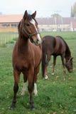 4 konia Zdjęcia Stock