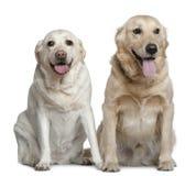 4 labrador gammala retrievers som sitter två år Royaltyfri Fotografi