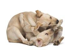 4 labradora miesiąc starych aporteru potomstwa Obrazy Royalty Free