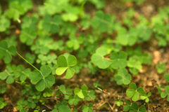 Free 4 Leaf-Clover Forest Royalty Free Stock Image - 5219326