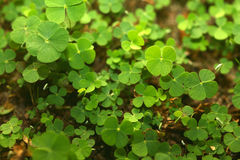 Free 4 Leaf-Clover Forest Stock Image - 5219351
